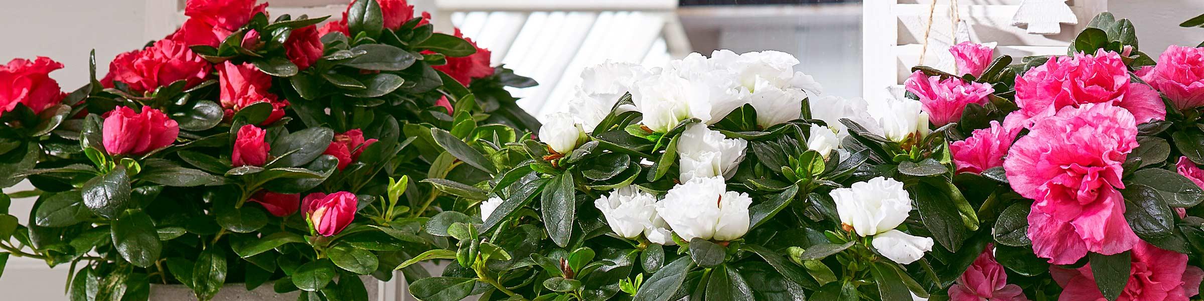 Blühende Zimmerpflanzen blühende zimmerpflanzen beste qualität dehner