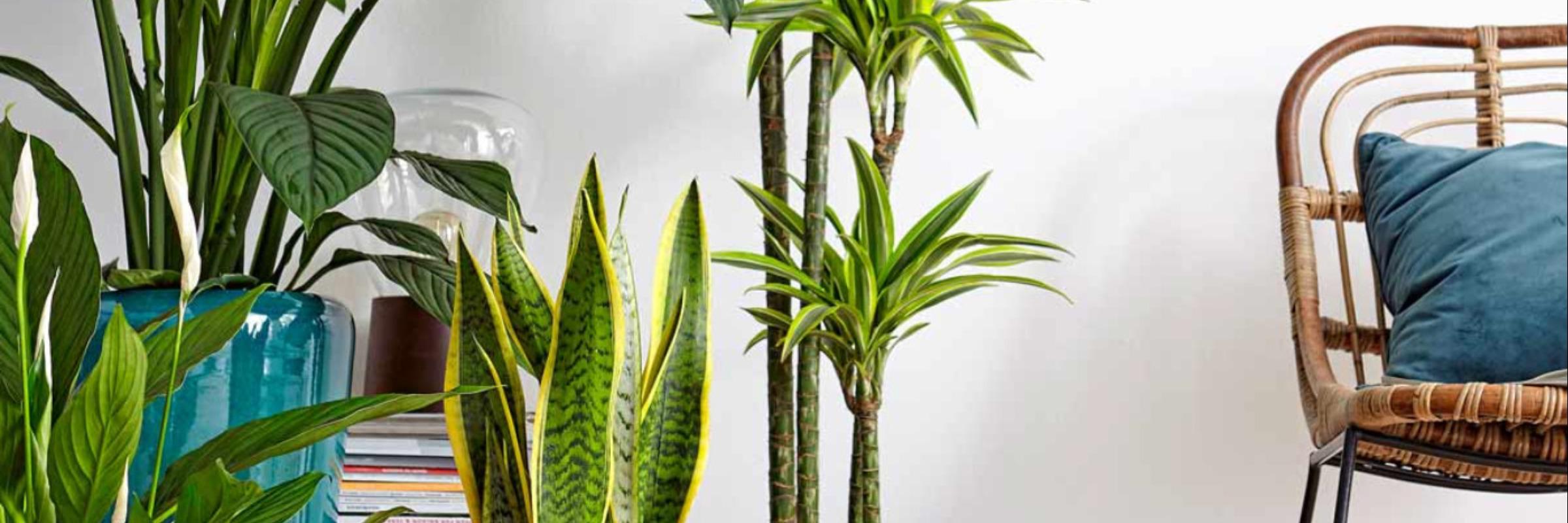 Top 17: Luftreinigende Zimmerpflanzen  Dehner