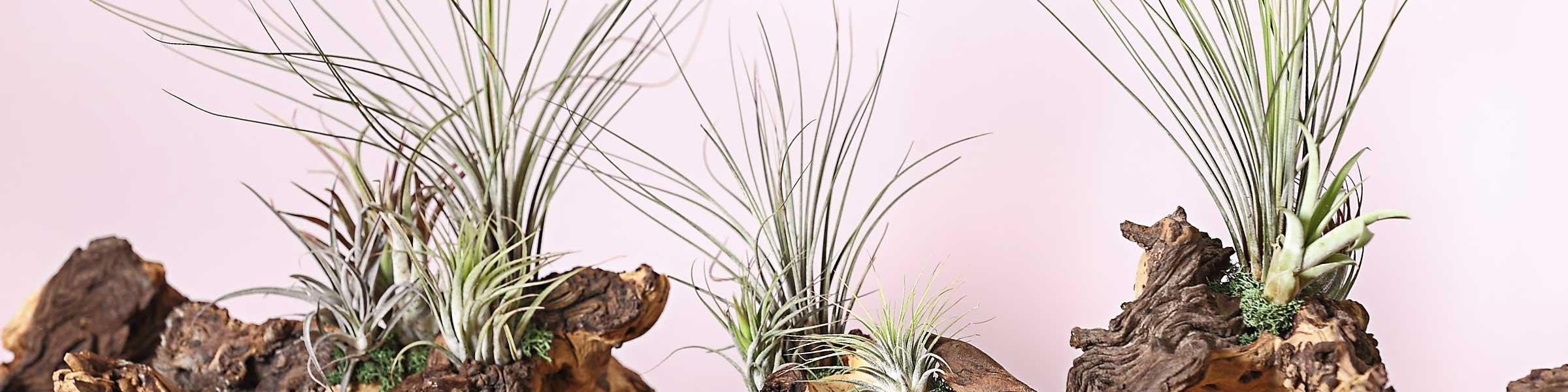 noch mehr zimmerpflanzen jetzt online bestellen dehner. Black Bedroom Furniture Sets. Home Design Ideas